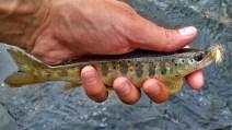 Juvenile atlantic salmon on the Credit River.