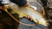 Grand River brown trout.