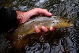 Small stream native brown trout.