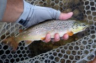 Brown trout caught sipping on Isonychias.