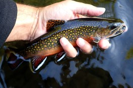 Excellent native brookie from closing day.