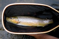 A decent Credit River Brown Trout from 2006