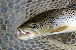 A Green Drake-sipping Brown Trout from the Credit River