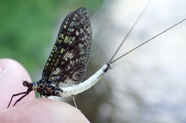 Green Drake spinner (a.k.a. Coffin Fly)
