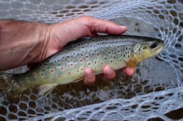A nice Credit River brown taken on a Grey Fox.