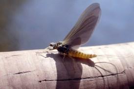 Early Sulphur mayfly.
