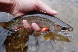 Wild small stream brookie.