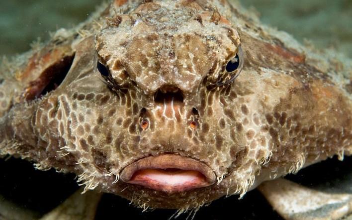 سمكة الخفاش The polka-dot batfish