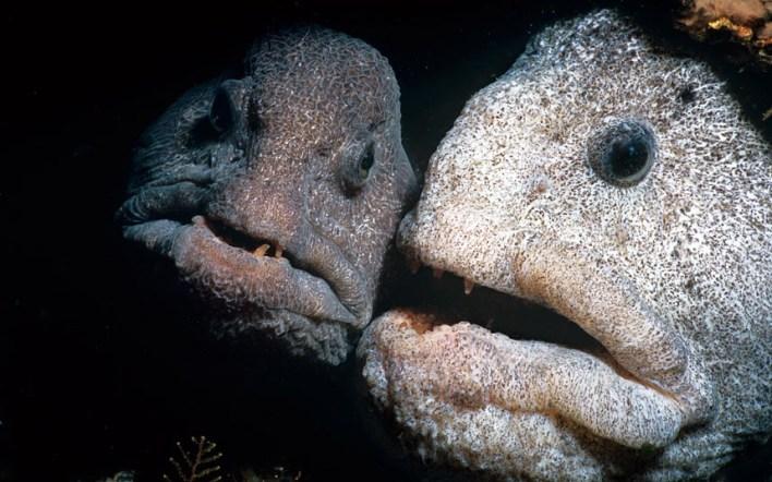 سمكة الذئب الاطلسي The Atlantic wolf eel
