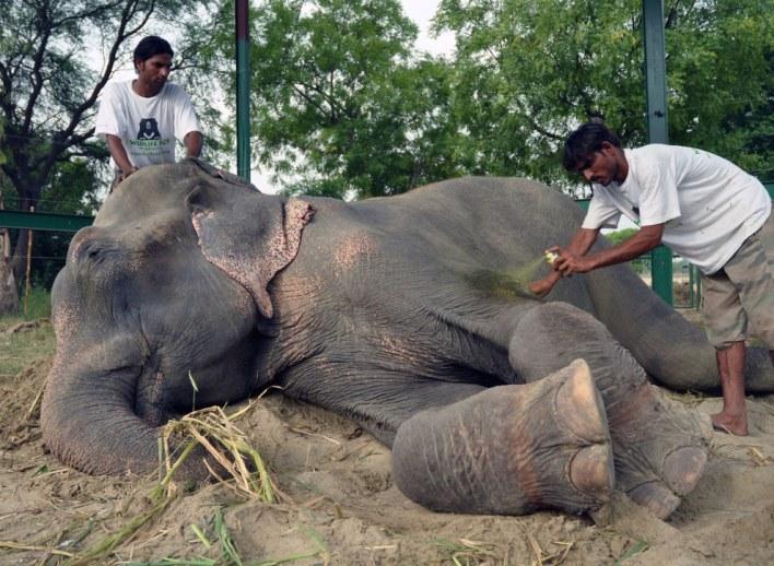 قصة الفيل الذي بكى عند انقاذه بعد 50 سنه من الأسر ! (7)