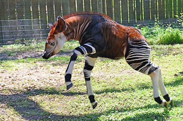 الأوكابي - Okapi