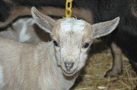 First Baby Nigerian Dwarf Goats of 2017