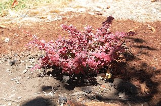 Variegated Barberry