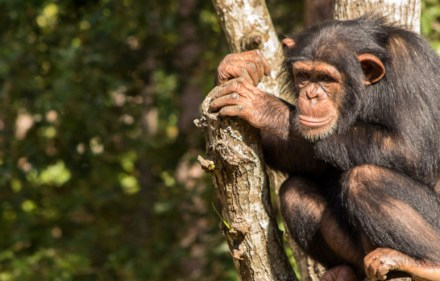 Preview – Sue Perkins and the Chimp Sanctuary