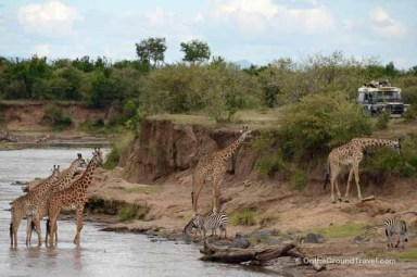 African Safari - Giraffes Crossing Mara River in Kenya