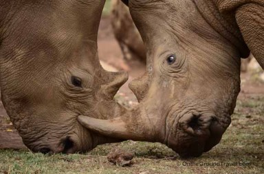 African Safari White Rhinos in Kenya