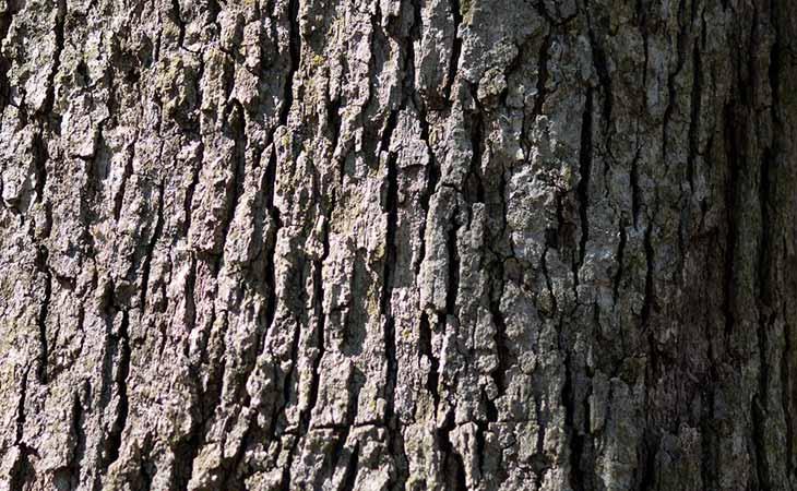 How White Oak Tree Bark Work