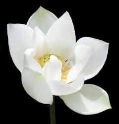 lotus-732247