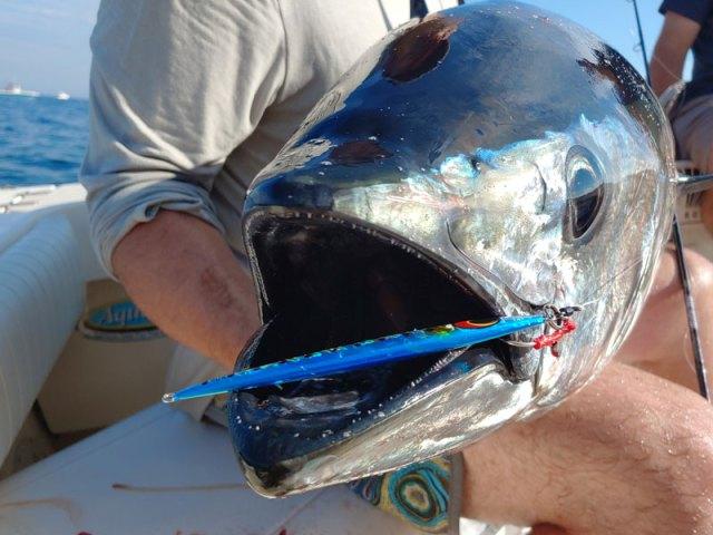 bluefin on