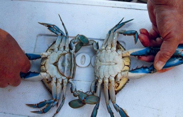 female blue crab