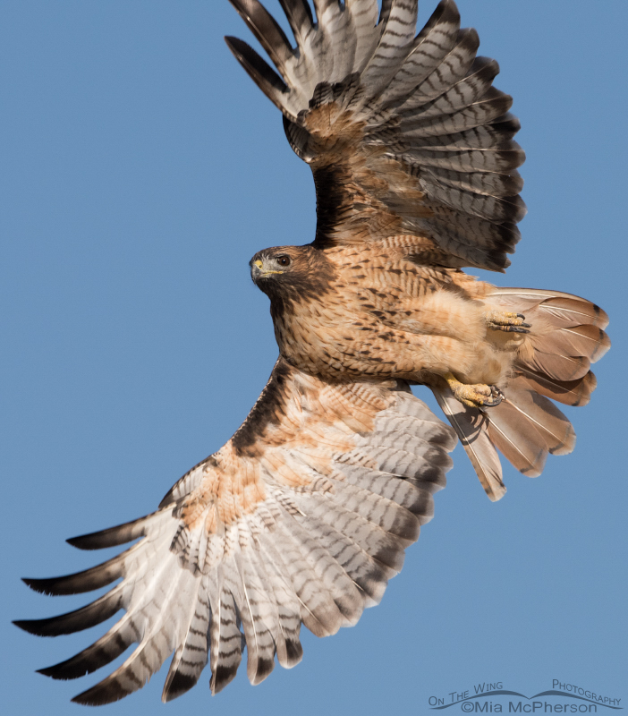 Close up of a Red-tailed Hawk in flight