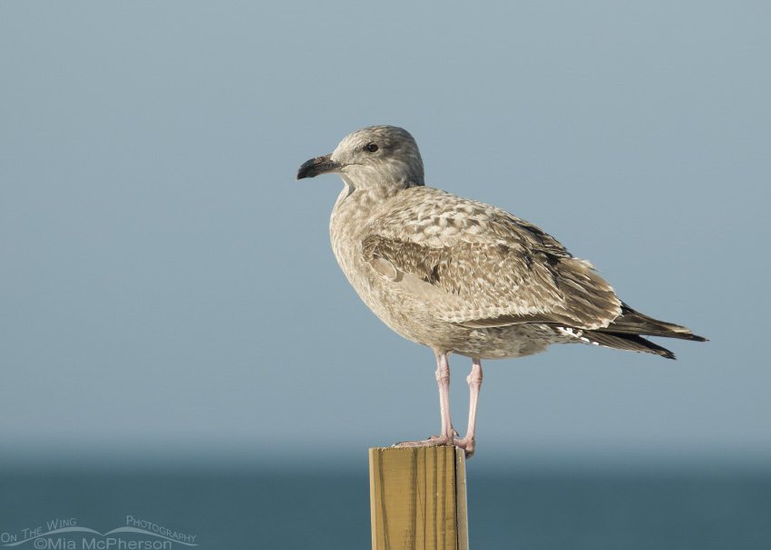 Herring Gull, Identification, All About Birds - Cornell ...