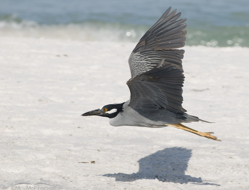 Night heron in flight - photo#43
