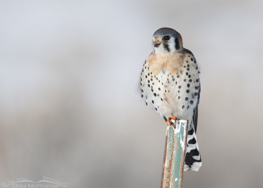 Wildlife Images Birds American Kestrel perched watching for it/'s next meal Hawk Photographs Nature Photography American Kestrel Prints