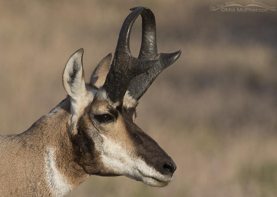 Buck Pronghorn Close Up On Antelope Island – Worth the Gnat Bites