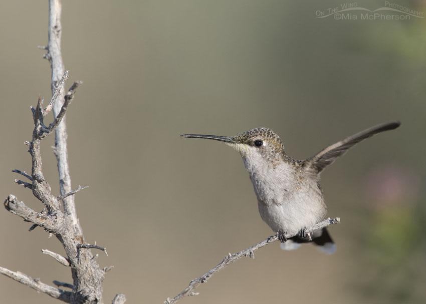 Black-chinned Hummingbird wing flutter