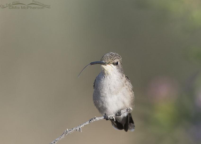 Black-chinned Hummingbird tongue