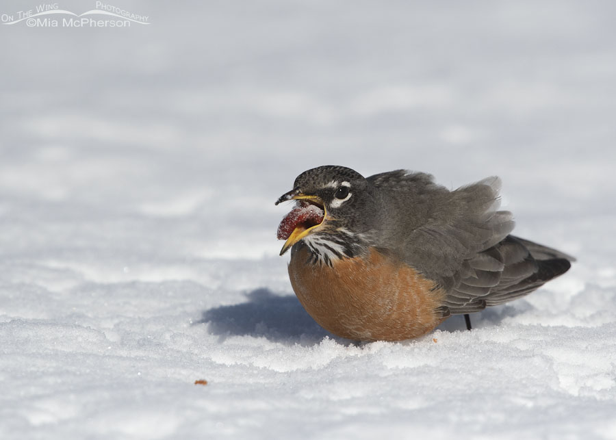 An American Robin swallowing a crabapple whole – On The Wing