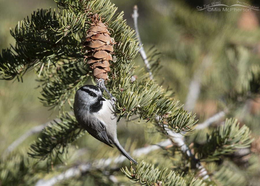 Curious adult Mountain Chickadee, Stansbury Mountains, West Desert, Tooele County, Utah