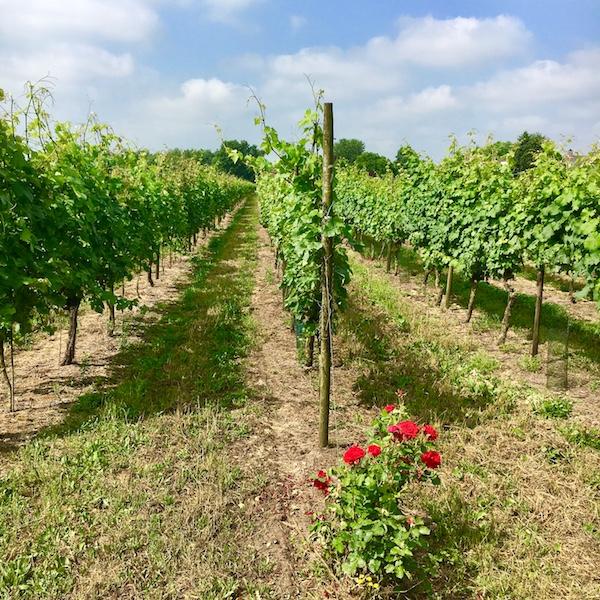Wijngaard De Linie – Made