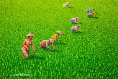 Rice Field Painting photo Ooaworld
