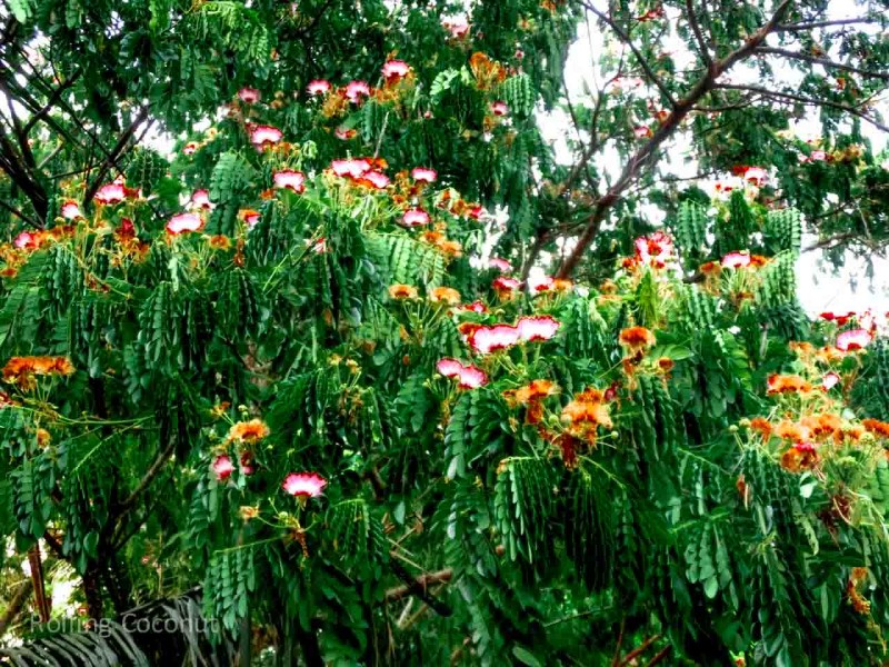 Orange White Flowers Tree Luang Prabang Laos Rolling Coconut Ooaworld Photo Ooaworld
