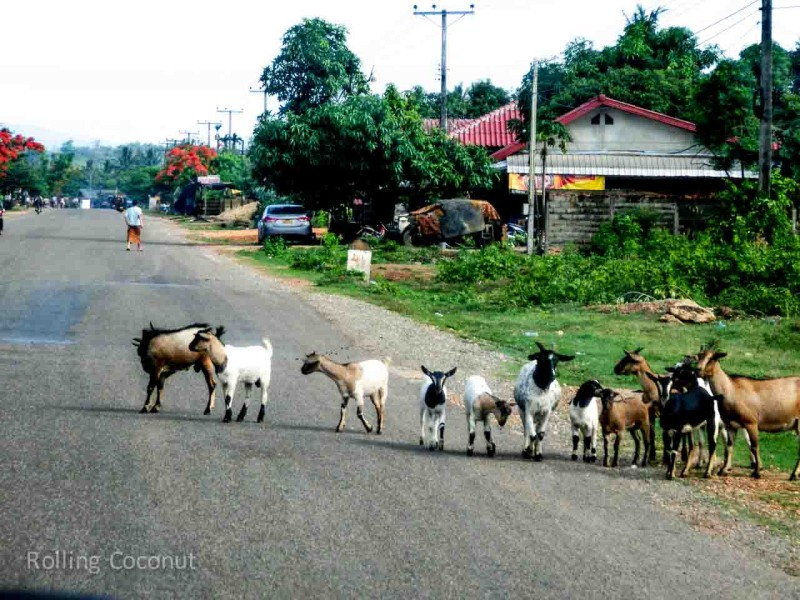 Goats on the Road to Vang Vieng Laos Rolling Coconut Ooaworld Photo Ooaworld