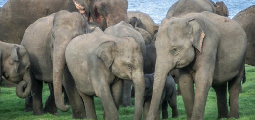 Habarana Elephants Safari Family Protection Minneriya Sri Lanka ooaworld Rolling Coconut Photo Ooaworld
