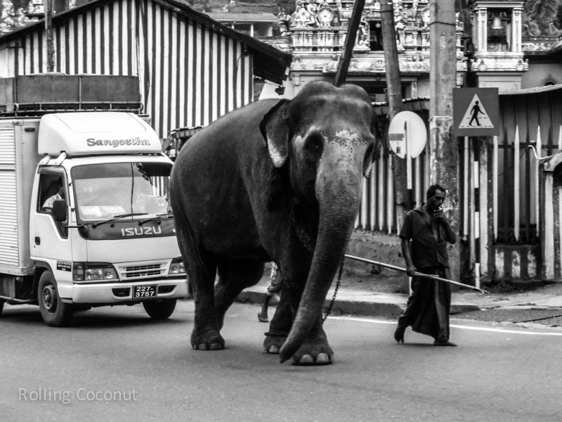 Kandy Elephant Streets Sri Lanka ooaworld Rolling Coconut Photo Ooaworld