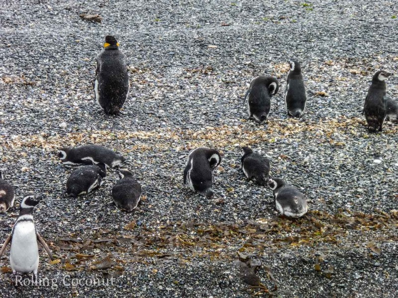 Ushuaia Argentina King Penguin Island Beagle Channel ooaworld Rolling Coconut Photo Ooaworld