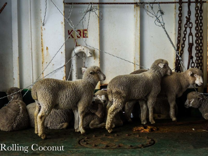 Chile Puerto Cisnes Sheeps Rolling Coconut OOAworld Photo Ooaworld