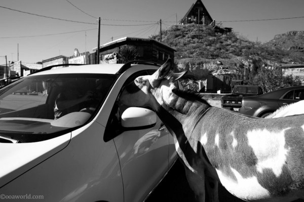 Free-wandering Burro in Oatman, Nevada