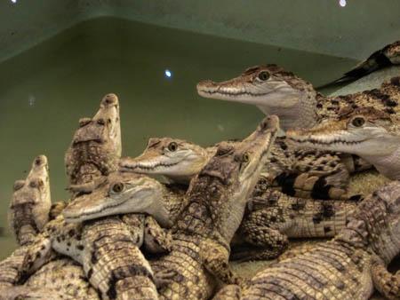 baby crocodiles palawan philippines photo ooaworld Rolling Coconut