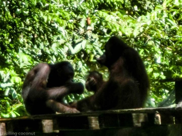 Orangutans lunch Sepilok Borneo photo ooaworld Rolling Coconut