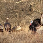 Great shots Kristi! Early morning out scouting turkeys and was lucky enough to snap a few shots with my camera!