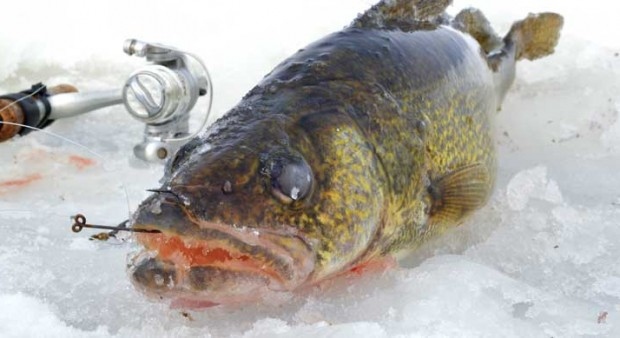 winter walleye - Photos: Yannick Loranger