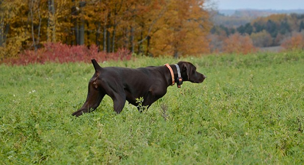 a chocolate lab, pointing