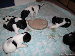 voor het eerst puppy pap!