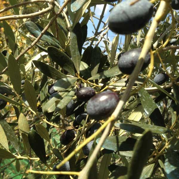 The Olive Harvest: You don't shake 'em, you rake 'em!