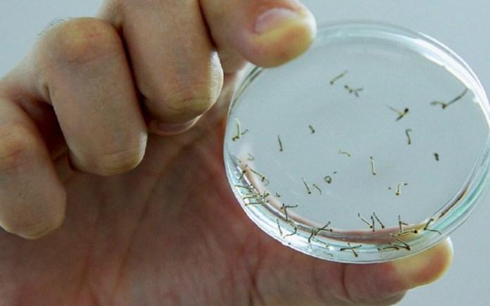 larvas-dengue